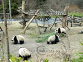Chengdu is famous for the national treasure - pandas. See, what a paradise for these lovely wildlives.