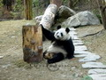Scientific research shows that giant pandas are among the most inactive wildlives  due to lacking of nutrition of their main food - bamboo.