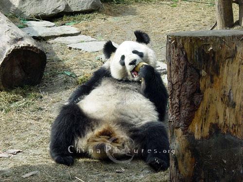 wars panda bear - photo #16