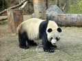 National treasure - Giant Panda
