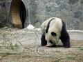 Giant pandas enjoy the kind of humid, cool environment, and Chengdu, Sichuan is so far the most suitable place for their living.