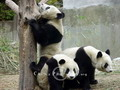Keep watch for the climbing panda