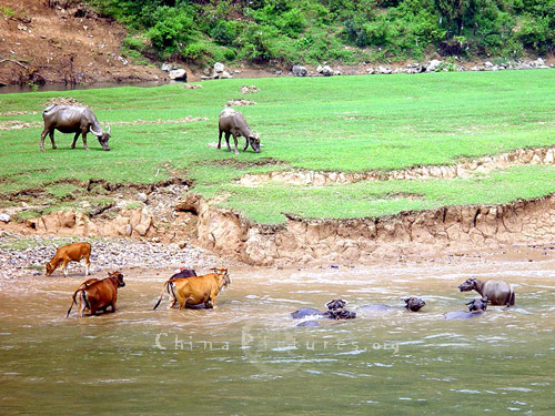 The water buffalos that are used by the farmers to work their fields enjoy their freedom to sport in the river.