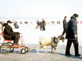 Towing dolly pulled by a goat on the frozen surface of Songhua River in Harbin.