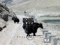 Yaks wander freely along the rough roads.